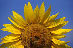 Bees on a sunflower 2 stock photo