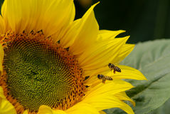 Bees and Sunflower Royalty Free Stock Photos