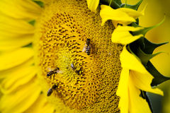 Bees on sunflower Royalty Free Stock Photo