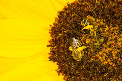 Bees on a sunflower Royalty Free Stock Images