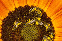 Bees on a sunflower Royalty Free Stock Photo