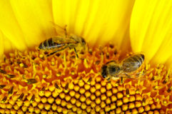 Bees on sunflower - closeup. Two bees on a big sunflower in summer - closeup royalty free stock image