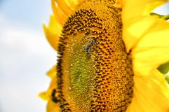 Bees on a sunflower Royalty Free Stock Photography