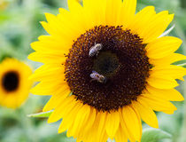 Bees on sunflower Royalty Free Stock Image