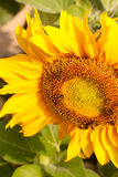 Bees and sunflower Stock Image