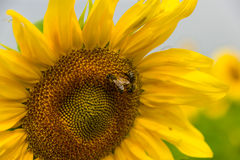 Bees on sunflower Stock Image