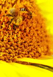 Bees on sunflower Stock Images