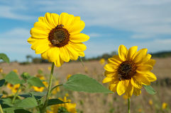 Bees on sunflowers in summer Royalty Free Stock Photos