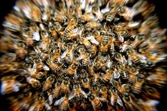 Bees, Swarm, Insects, Macro Stock Images