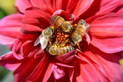 Bees Swarm Pollinate A Red Flower in Macro Closeup. Four honey bees pollinate a red flower in macro Stock Images