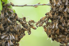 Bees swarm royalty free stock photo