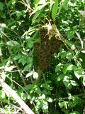 Bees. This swarm of bees which were grafted on a tree near the apiary Royalty Free Stock Images