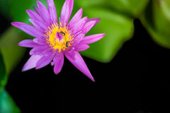 Bees are swarming beautiful pink lotus flower and yellow lily pollen with blur background Royalty Free Stock Image