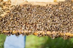 Bees Swarming On A Honeycomb Royalty Free Stock Photo