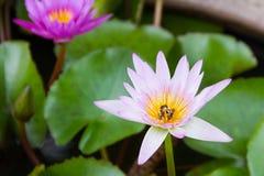 Bees swarming lotus Royalty Free Stock Image