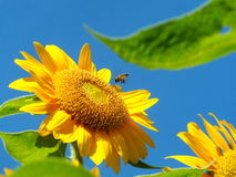 Bees are swarming sunflower. In garden Stock Photography