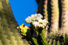 Bees swarming on white saguaro cactus blossoms. Bees swarming and gathering pollen from the large, bright white blossoms of the giant saguaro cactus carnegiea royalty free stock photography