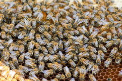 Bees take care of the larvae Royalty Free Stock Image