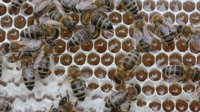 Bees take nectar from honeycomb to transform it into honey. stock video footage