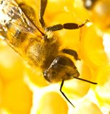 Bees take nectar from honeycomb to transform it into honey. Each bee does some work. Now bees take nectar from honeycombs to transform it into honey stock photos