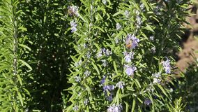 Bees take the nectar at  rosemary field stock video footage
