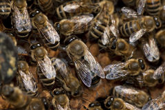 Bees taking care of bee-larva Stock Photography