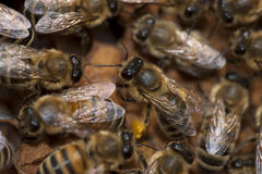 Bees taking care of bee-larva Stock Images
