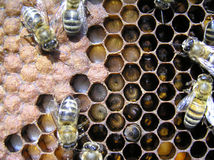 Bees and their larvae. Stock Photos