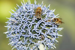 Bees on thistle Stock Photos