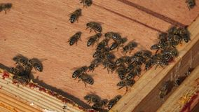 Bees traffic. Bees come and go in the hive stock footage