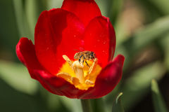 Bees and tulips. In spring, blooming tulips, busy bees fly around, in and out between the flowers, to pick the pollen. Tulip flowers spread full, the blossom Royalty Free Stock Image