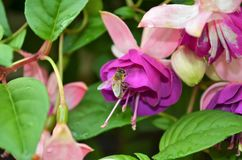 Bees and flowers in the garden Royalty Free Stock Photography