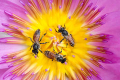 Bees in waterlily Stock Image