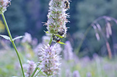 Bees on a weed Royalty Free Stock Photo