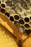 Bees, which come from the harsh winter Royalty Free Stock Images