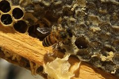 Bees, which come from the harsh winter. Bees, ncoming out of the harsh winter in their hives. nCelebration to build the cells for their honey, so perfectly Royalty Free Stock Images