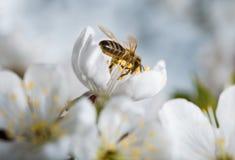 Bees on white flower Stock Image
