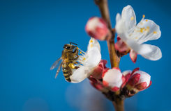 Bees in white flower Royalty Free Stock Image