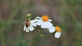 Bees and white flowers stock footage