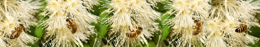 Bees on white syzygium flowers border Stock Photos