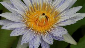 Bees in white water lily stock footage