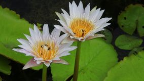 Bees in white water lily stock video