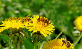 Bees on a wild flowers. Royalty Free Stock Photos