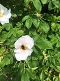 Bees on wild rose bush Royalty Free Stock Images