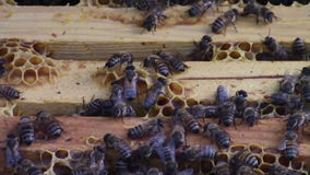 Bees on wooden bee hive frames stock video footage