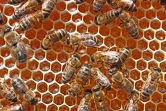 Bees work royalty free stock image
