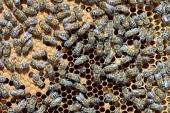 Bees at work Royalty Free Stock Photos