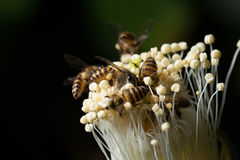 Bees. Work in a flower Royalty Free Stock Images