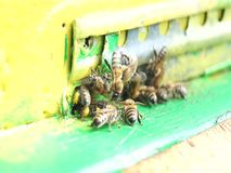 Bees work and guard their hive. honey production. Agriculture. stock video