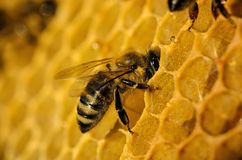 Bees work on honeycomb Stock Photography